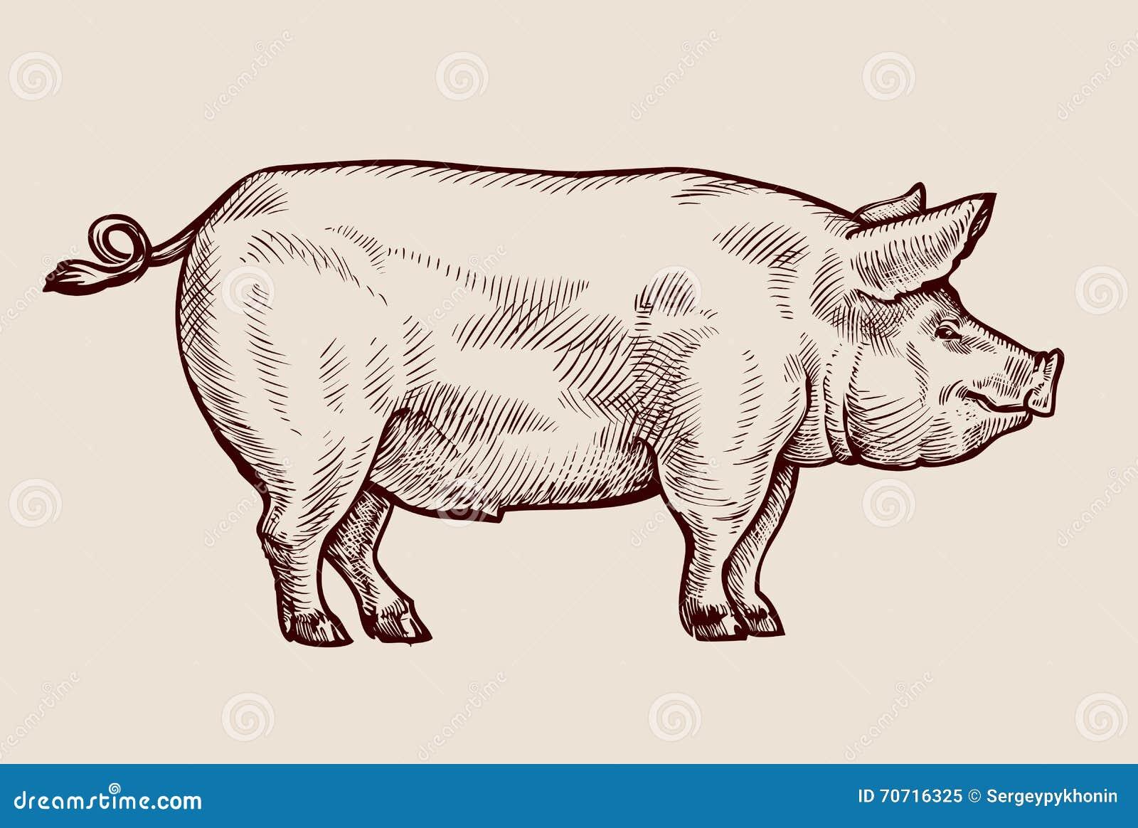 Sketch Pig. Hand-drawn Vector Illustration Stock Vector