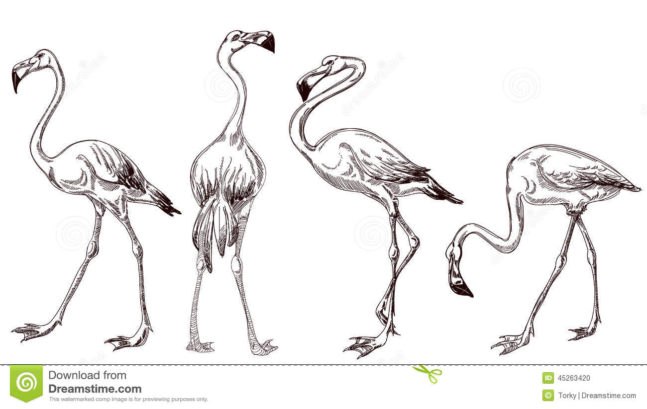 Sketched Flamingos Stock Vector. Illustration Of Fauna - 45263420