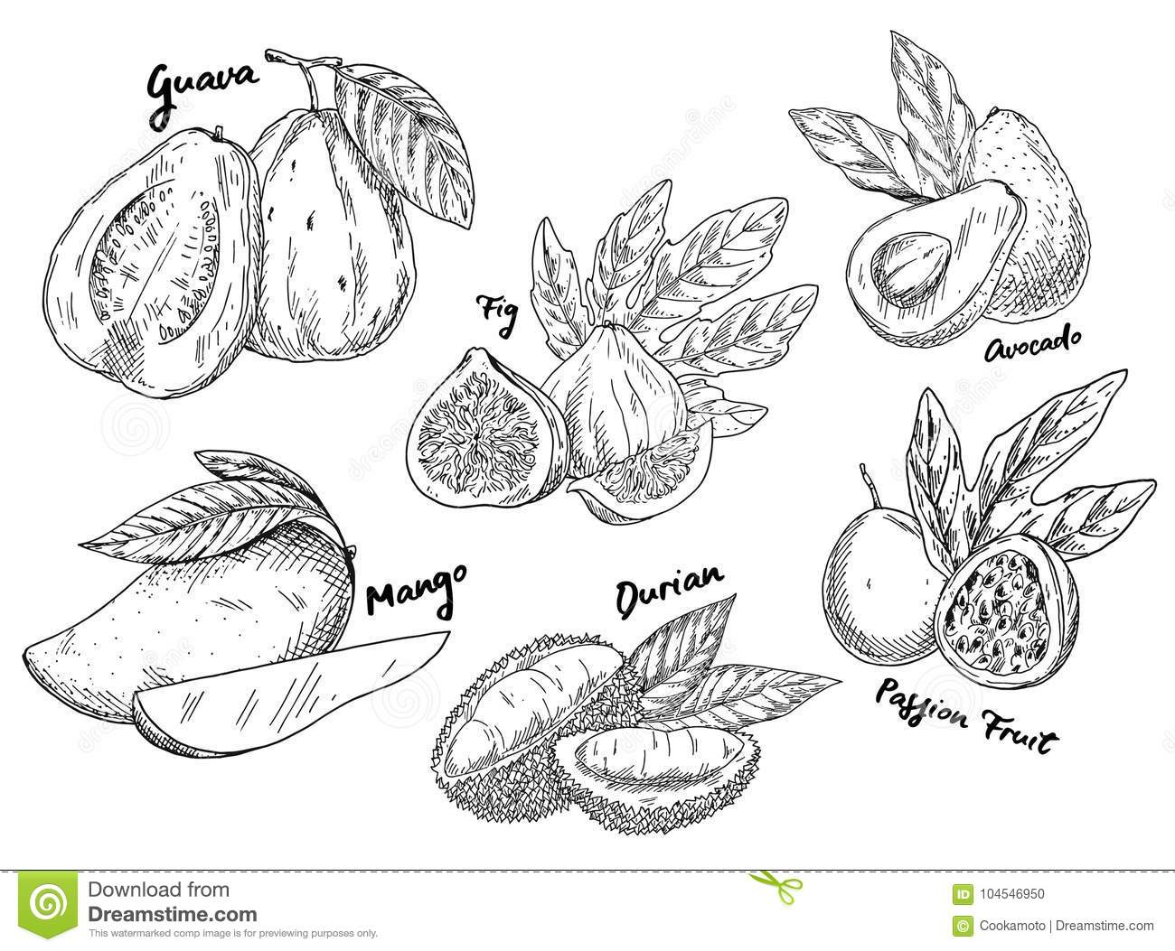 Sketch of guava and avocado fig and mango durian
