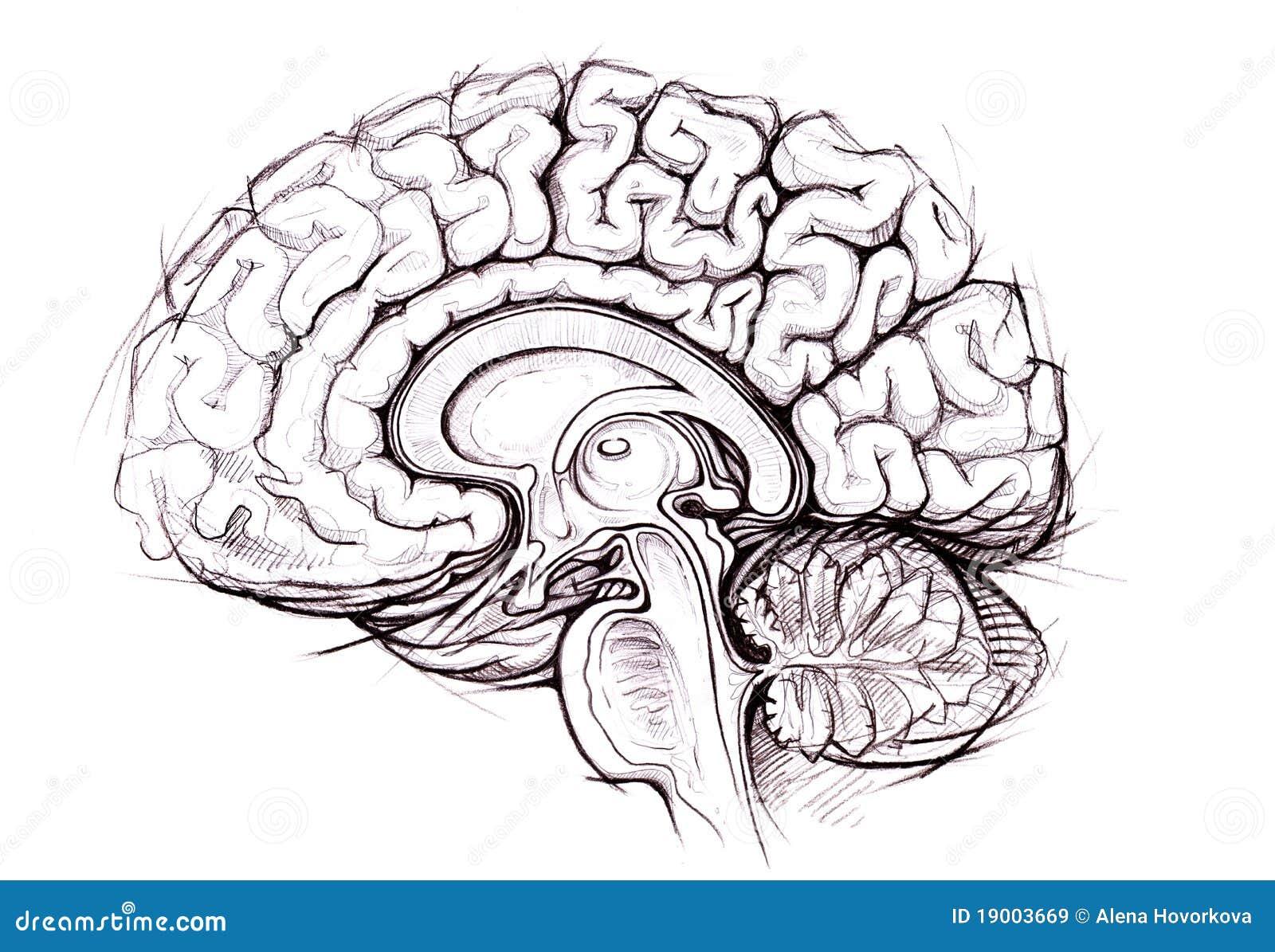 Skethy Studie Des Bleistifts Des Menschlichen Gehirns Stock ...