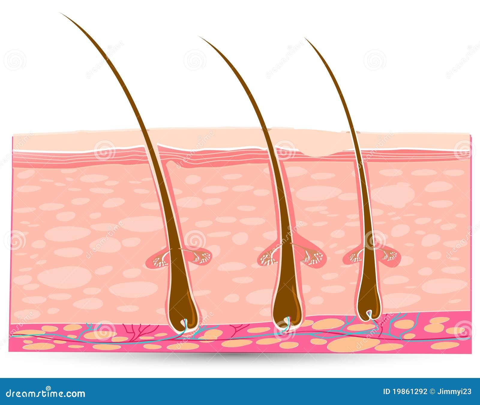 Skin Anatomy Stock Illustration Illustration Of Heal 19861292