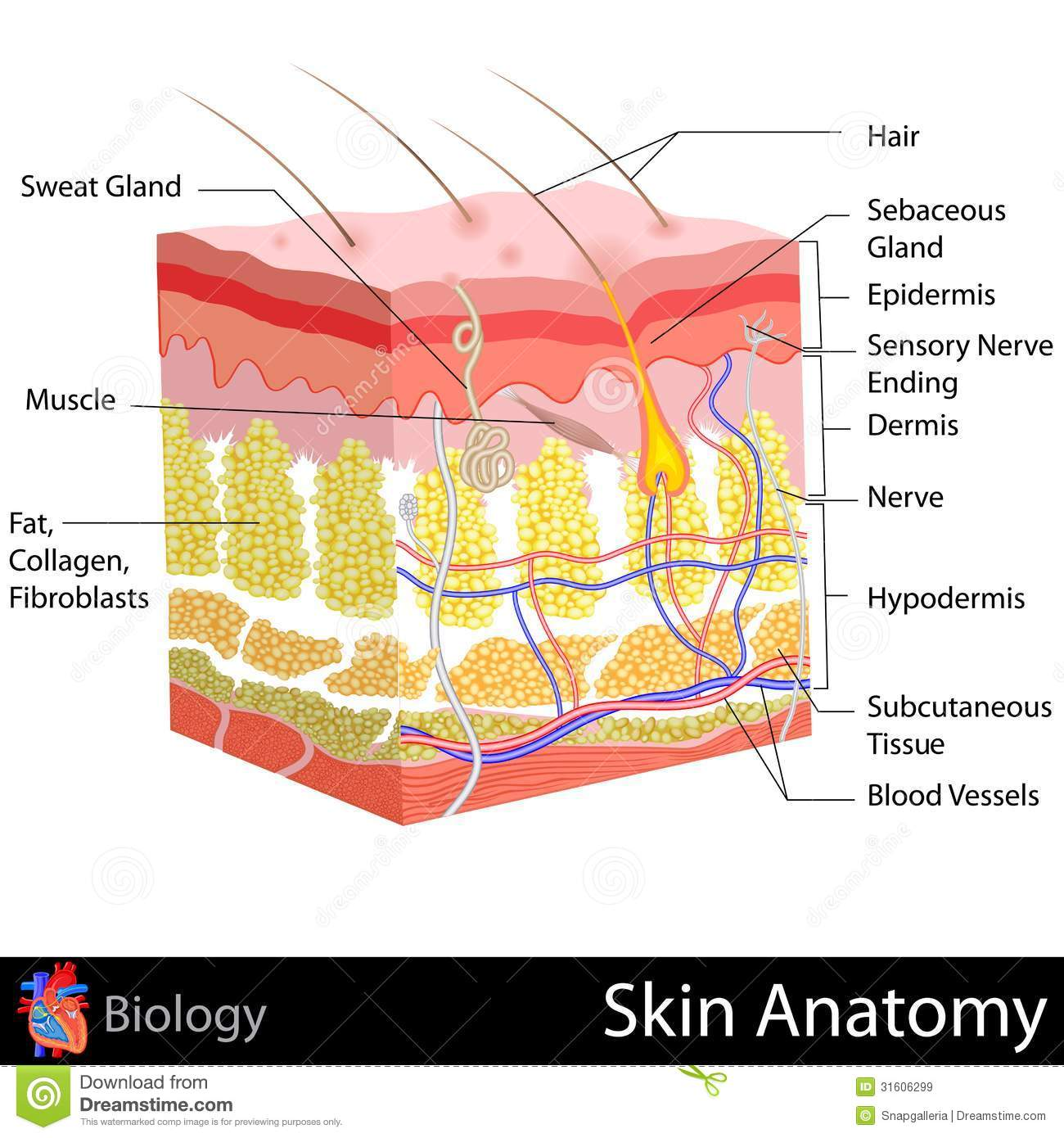 Skin layers diagram skin layers dia pooptronica Image collections