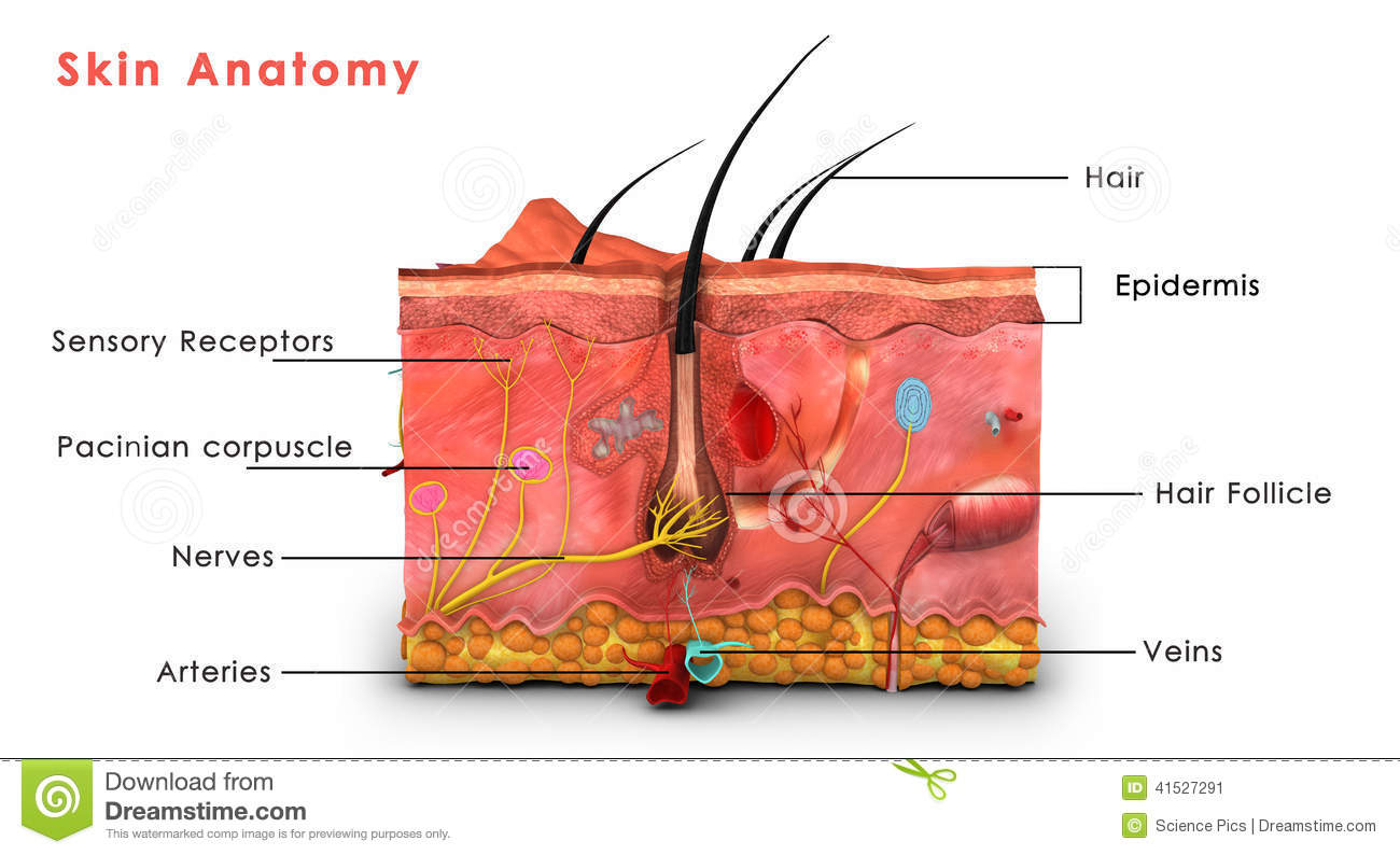 anatomy physiology of skin Understand the anatomy and physiology of the skin in relation to pressure care area 11 describe the anatomy and physiology of the skin in relation to skin breakdown and the development of pressure sores.