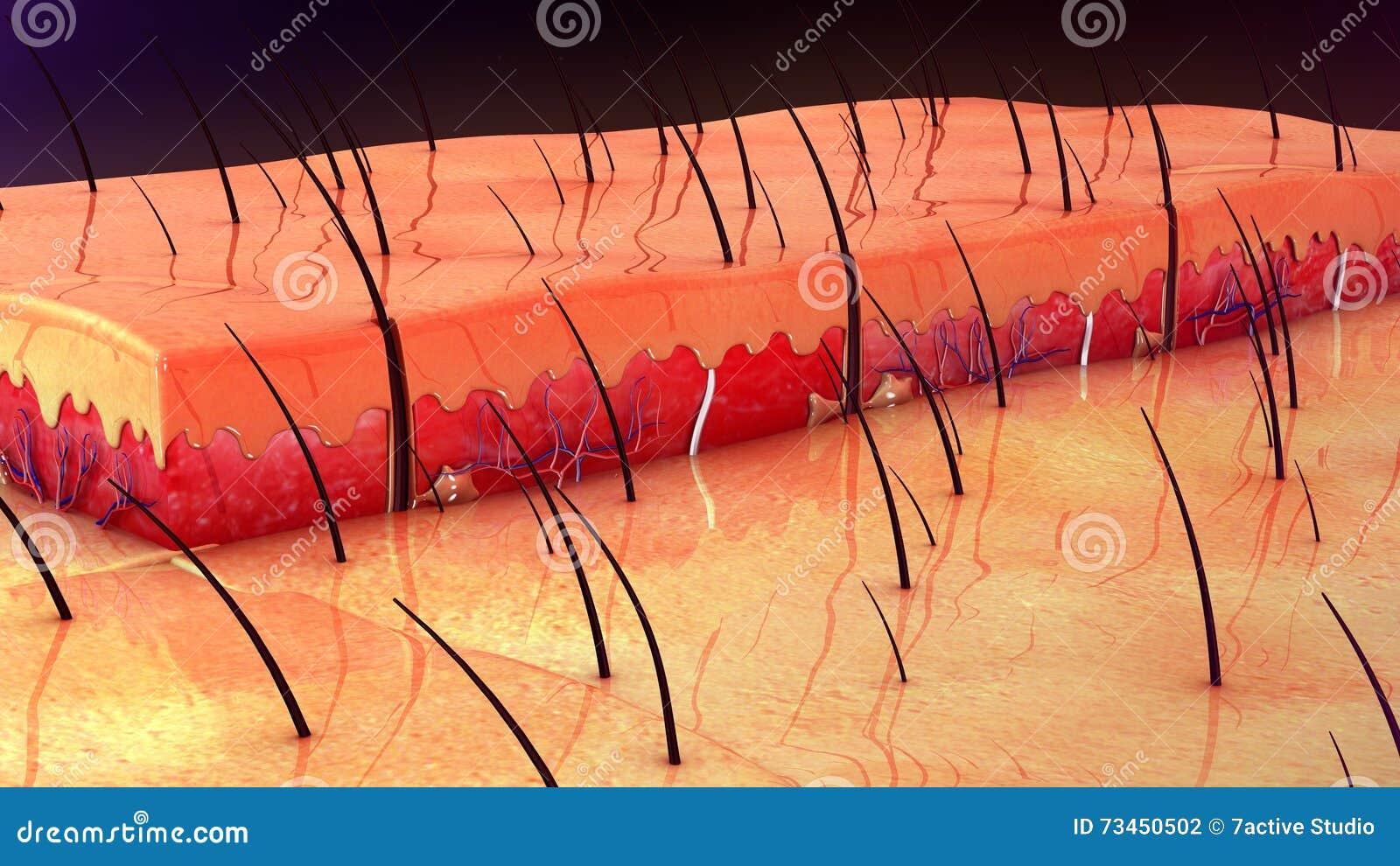 Skin Anatomy Stock Photo Image Of Muscle Anatomy Hypodermis