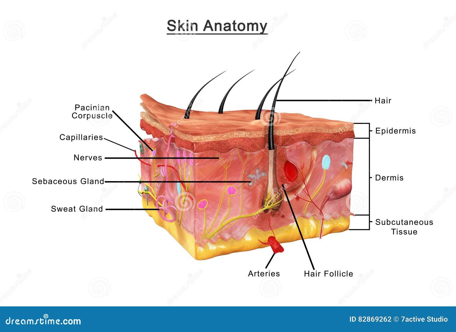 Skin Anatomy stock photo. Image of merkel, cell, burns - 82869262