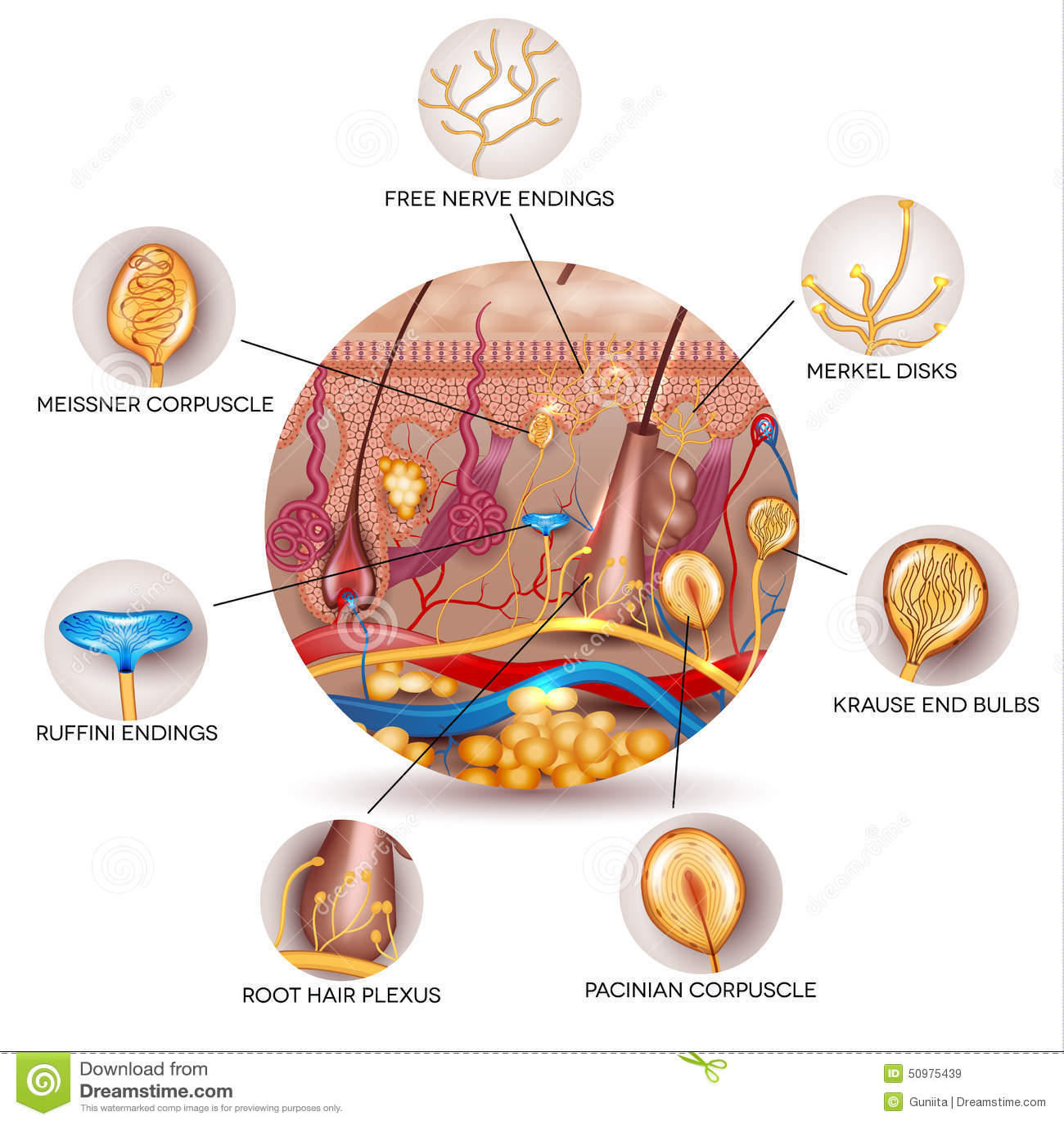 Skin Anatomy And Sensory Receptors In The Skin Cartoon