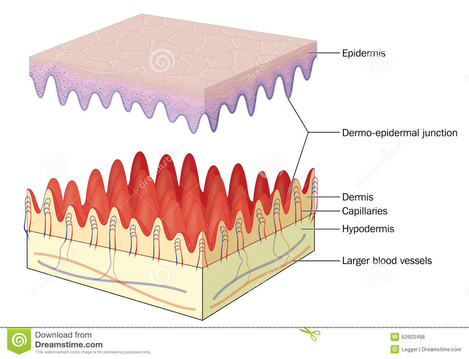 epidermal tissue Epidermal tissue system in detail for neet aiims jipmer etc exams - duration: 18:12 vipin sharma biology tutorials 3,828 views.