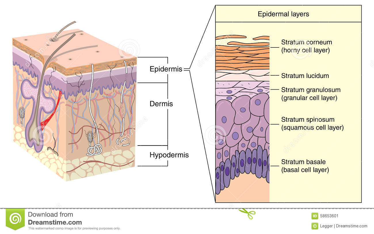 cross section through skin, showing the various layers of the epidermis   created in adobe illustrator  eps 10