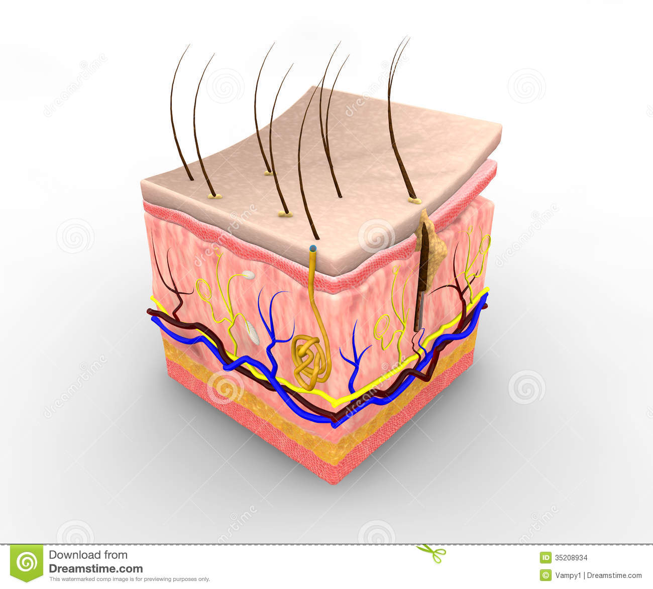layers of epithelial tissue