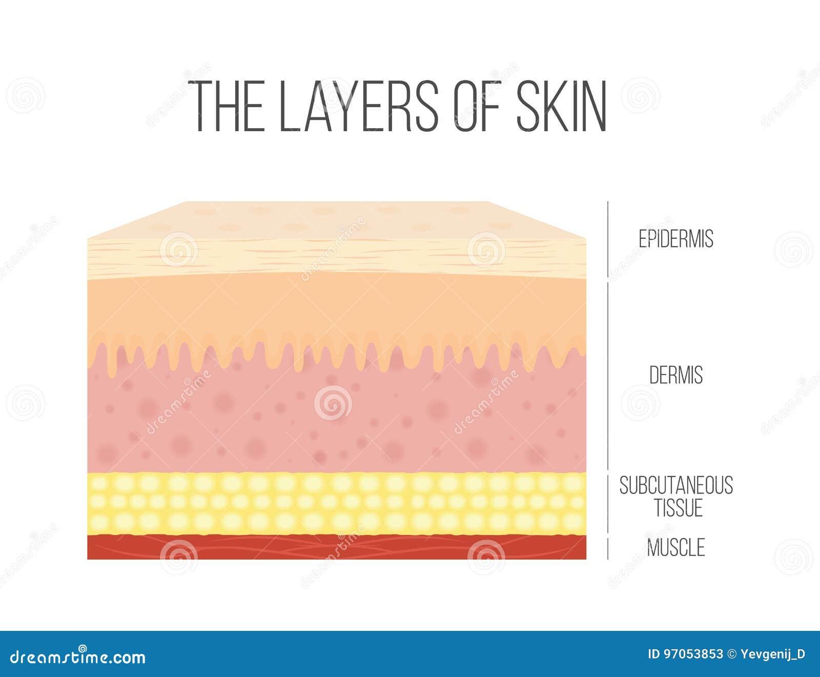 Skin Layers Healthy Normal Human Skin Stock Vector Illustration