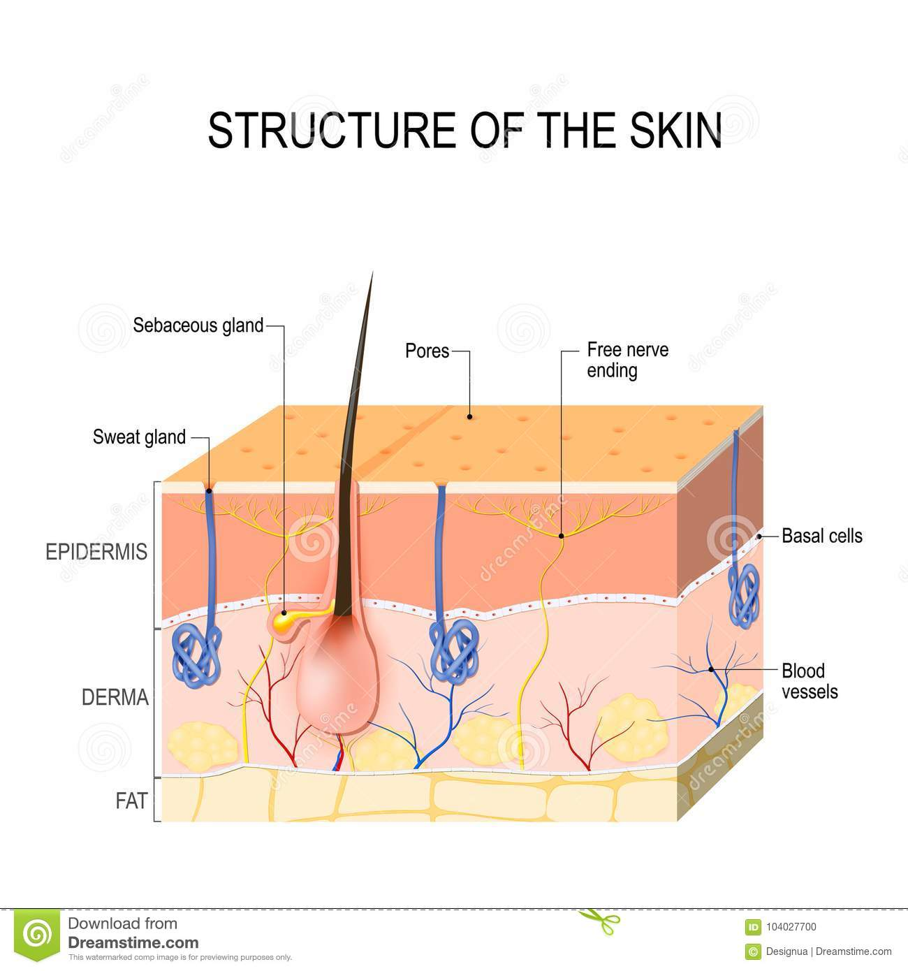 Skin layers with sebaceous gland and sweat glands stock vector skin layers with sebaceous gland and sweat glands pooptronica Image collections