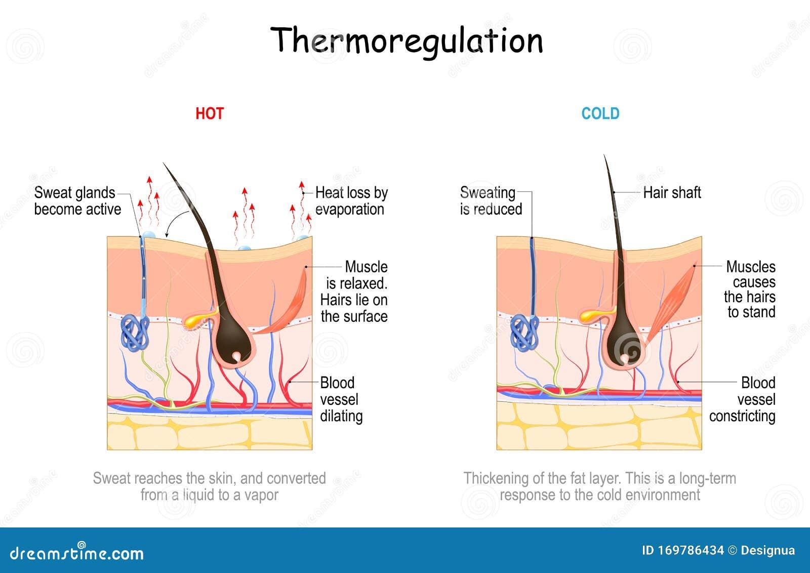 Temperature Regulation Stock Illustrations – 21 Temperature ...