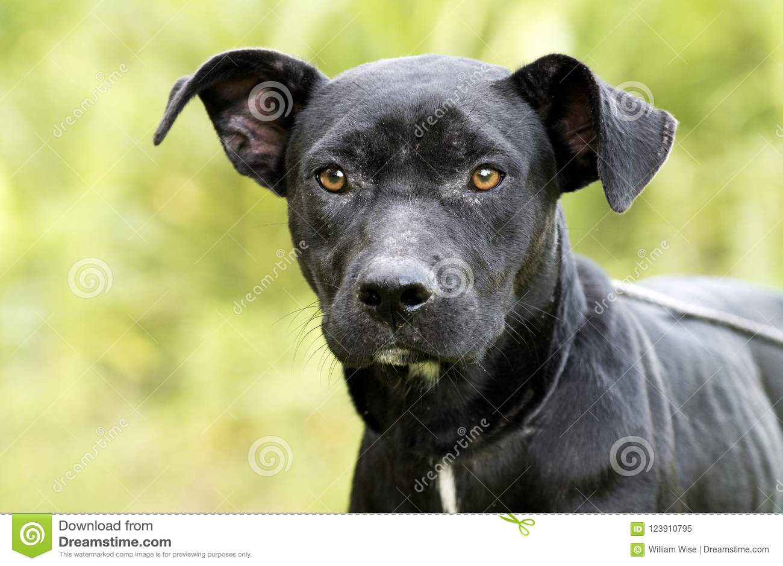 Skinny Black Lab Pitbull Mix Breed Dog Adoption Photograph