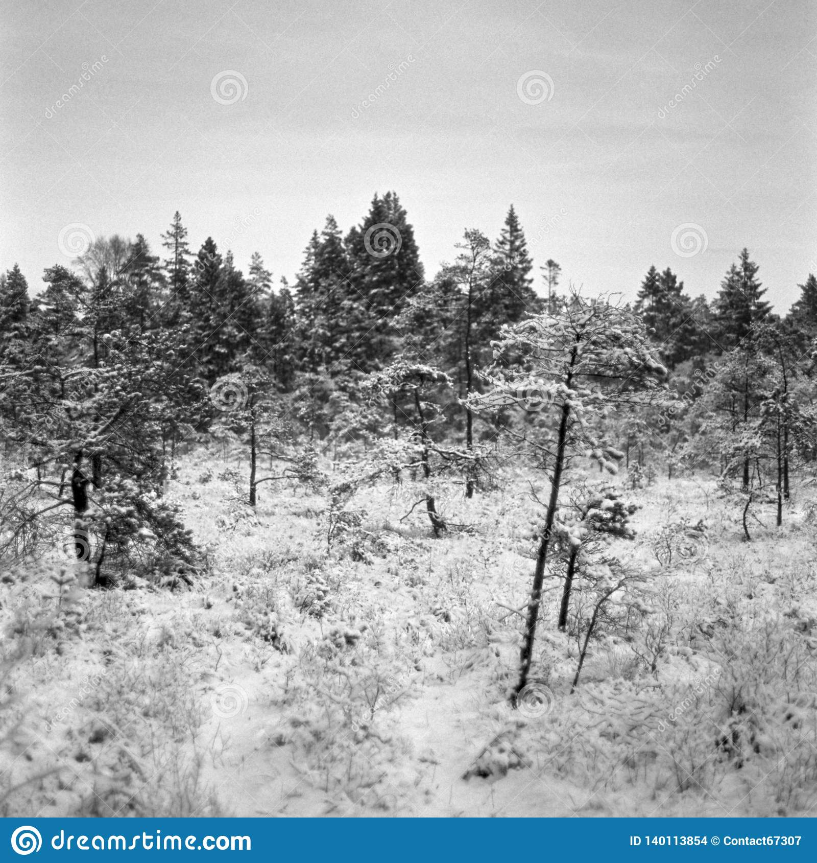 ba4083a886f1 Skinny trees on the bog during a nice winter day. Location  Uddevalla