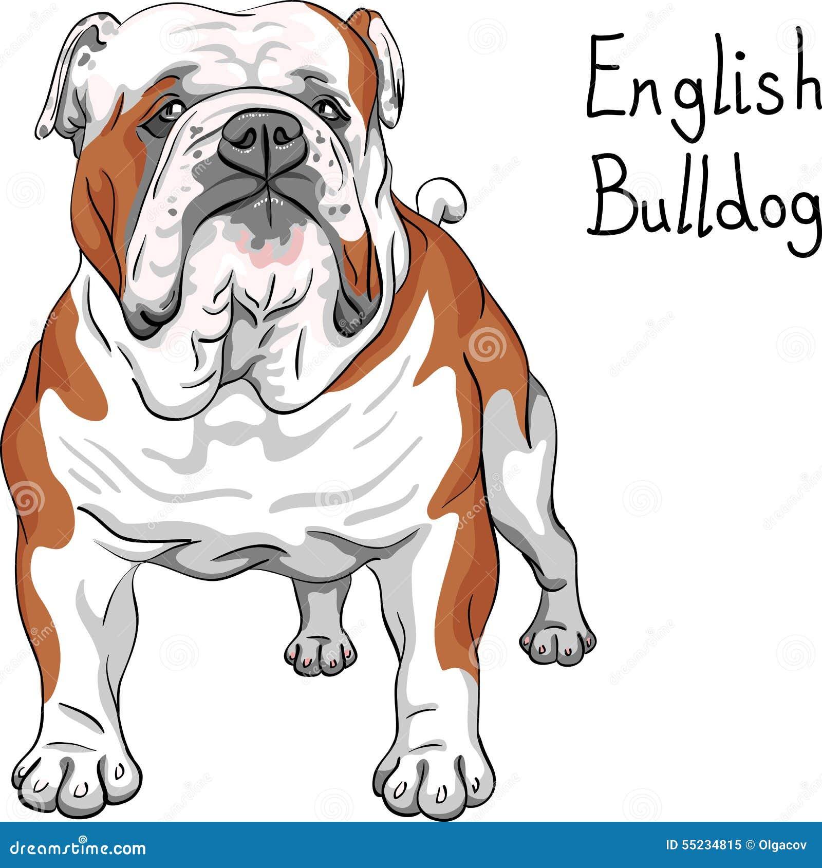 Skissa den engelska bulldoggaveln för hunden