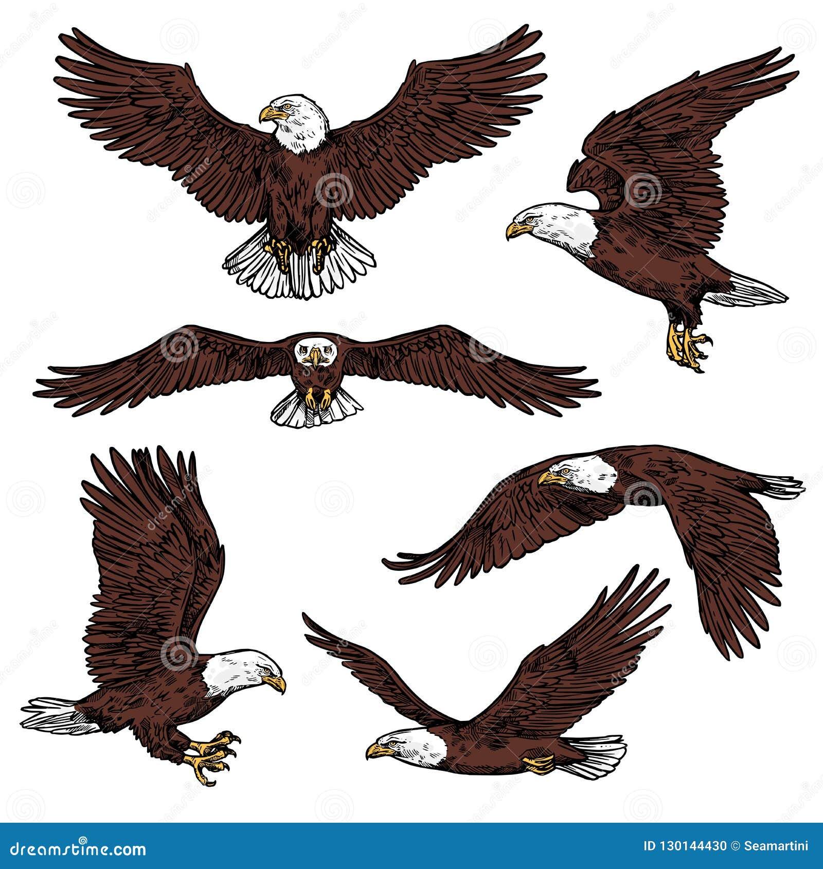 Skissar den rov- fågelvektorn för den skalliga örnen