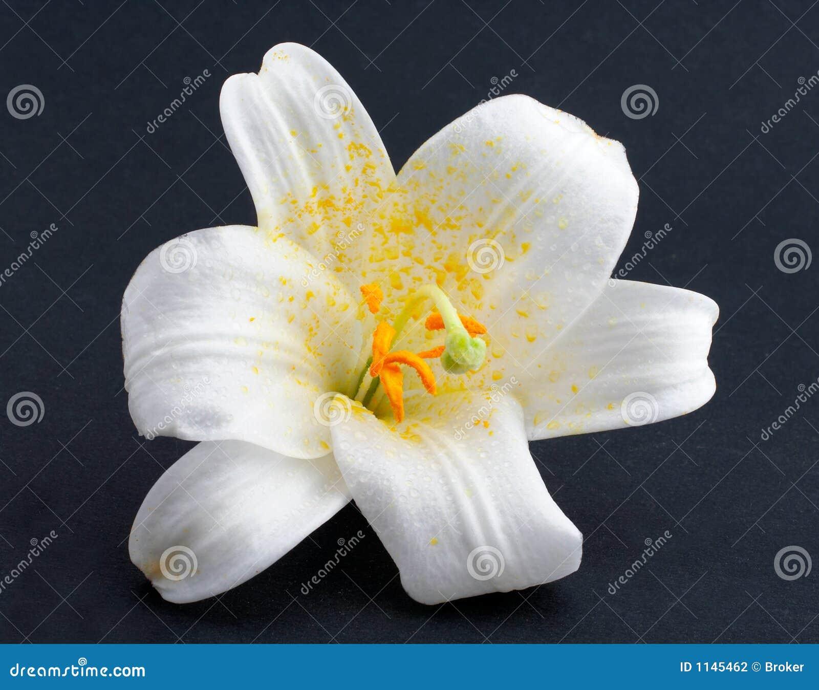 Skjuten white för blomma makro