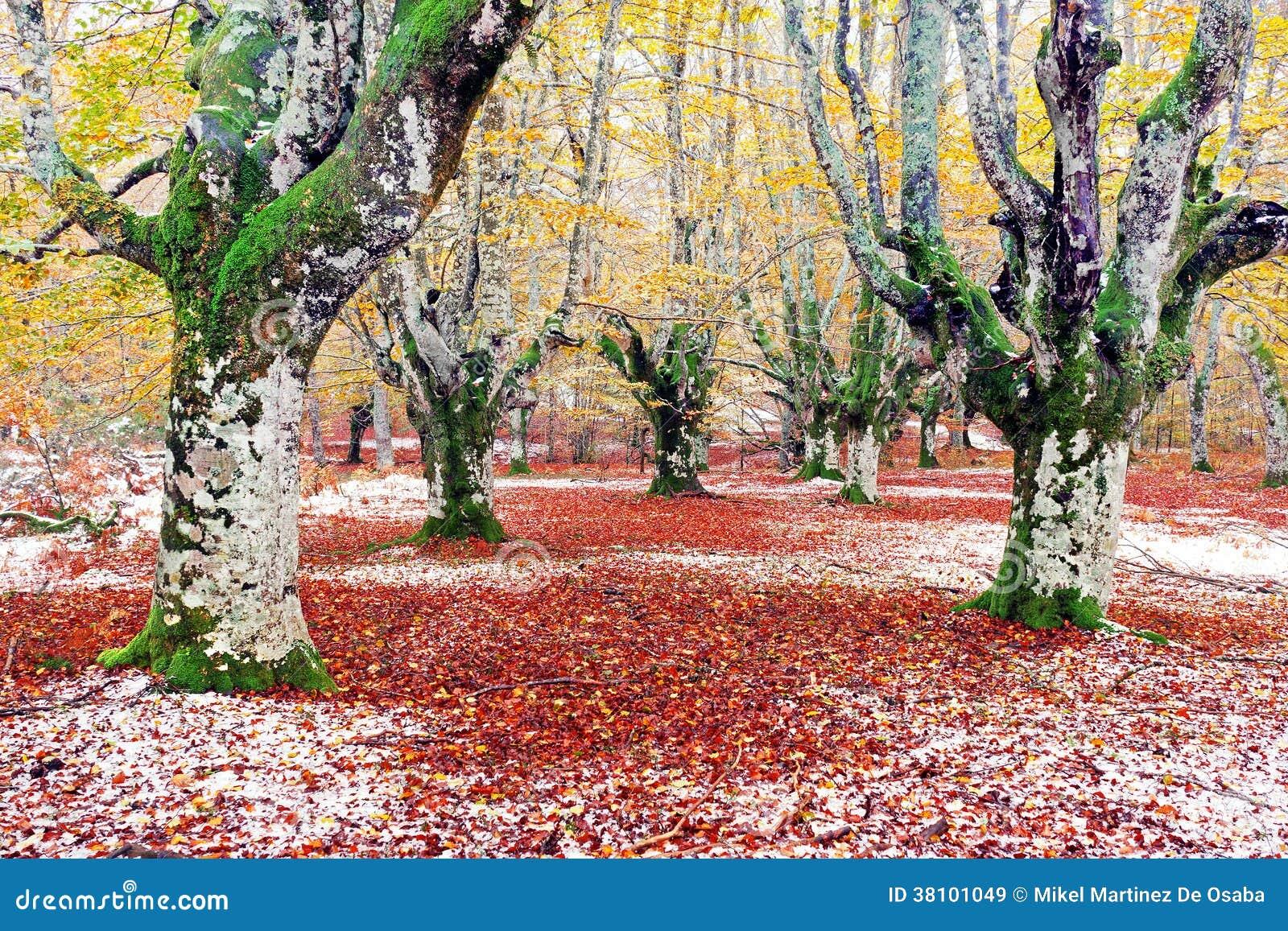 Skog i höst med snö