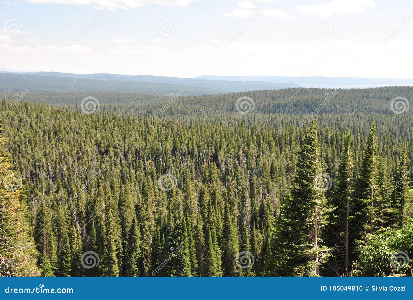 Skog Yellowstone nationalpark, Wyoming