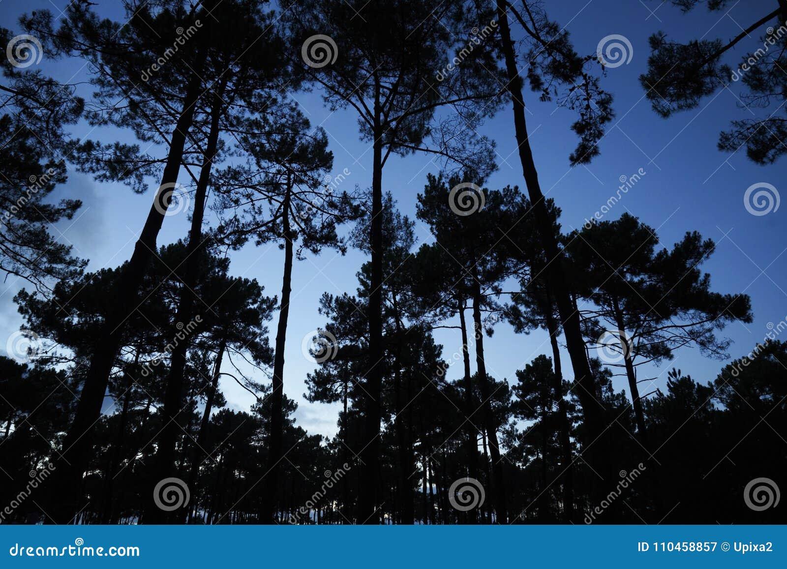 Skogen sörjer trädhimmel