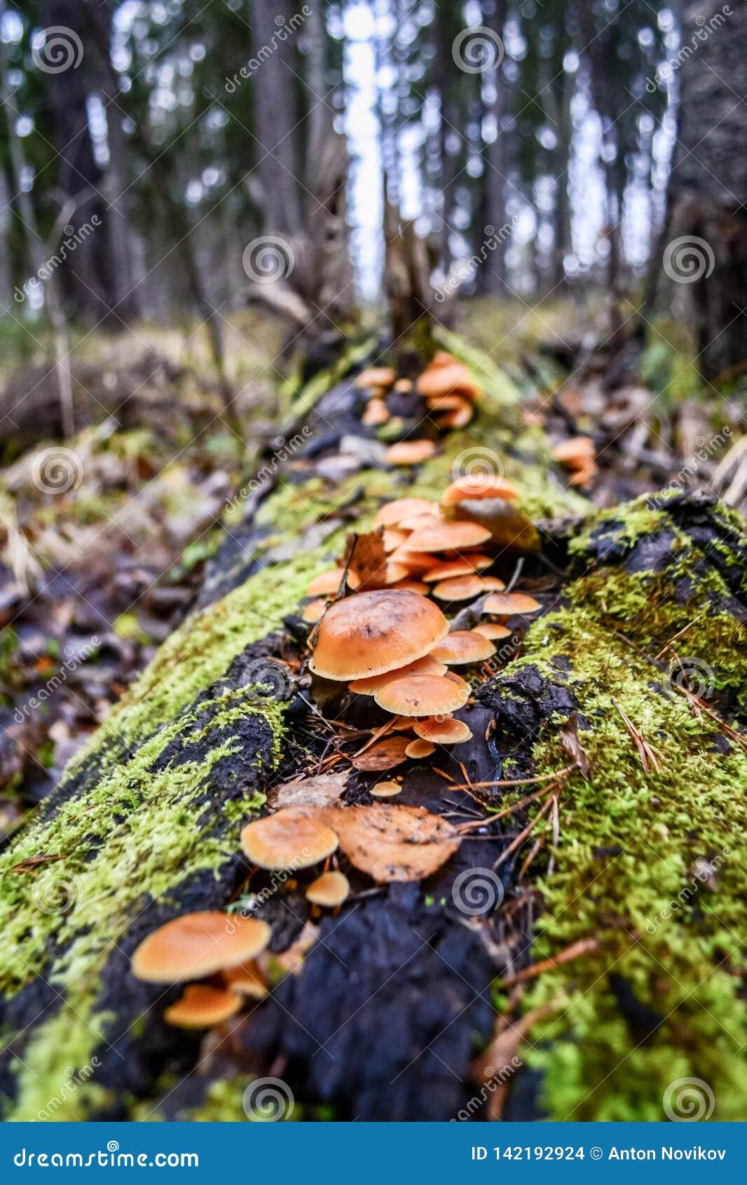 Skoglandskap med champinjoner på ett träd