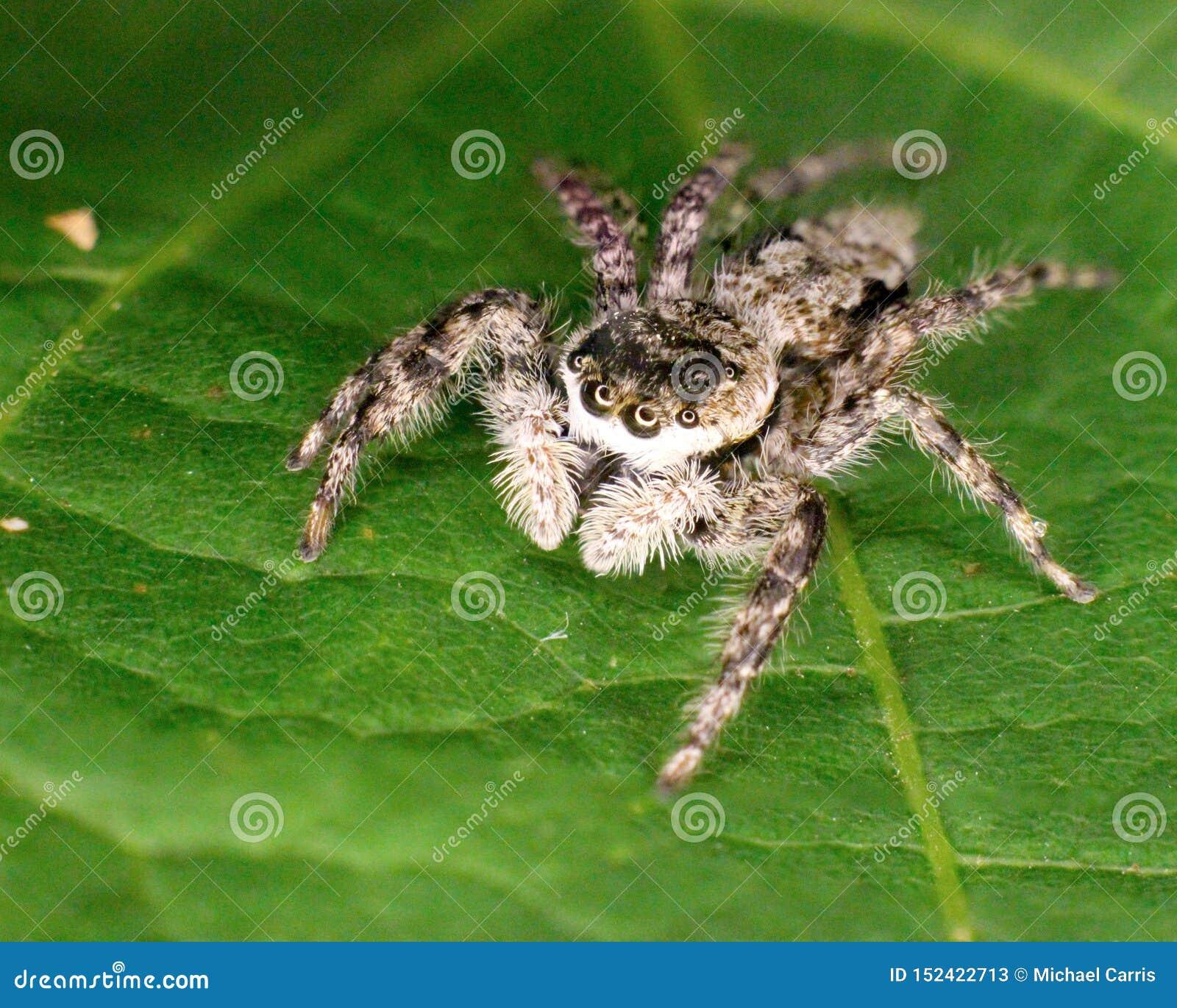 Skokowego pająka krańcowy zbliżenie na zielonym liściu