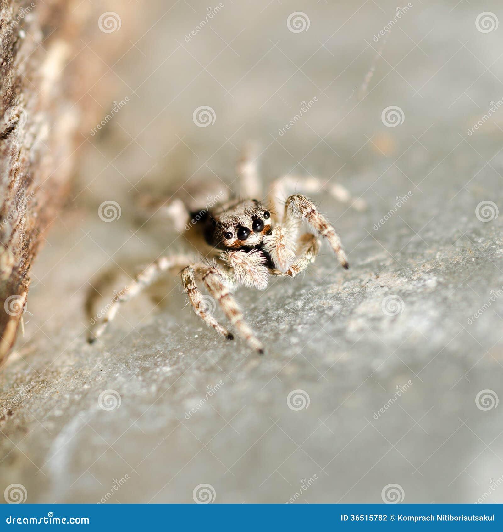 Skokowy pająk.