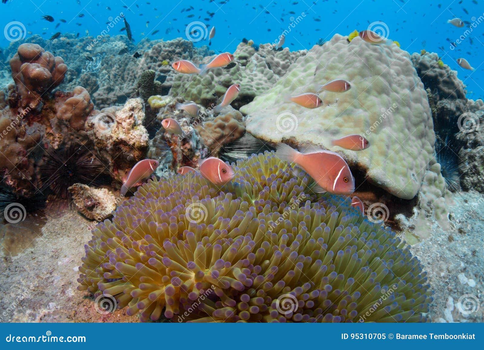 Skola av den rosa anemonefishAmphiprionperideraionen i en anemon