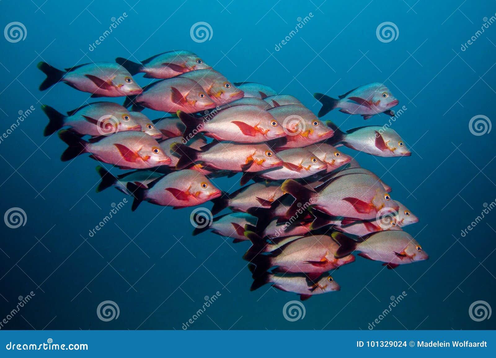 Skolan av puckelryggSnapper fiskar simning i öppet vatten tillsammans