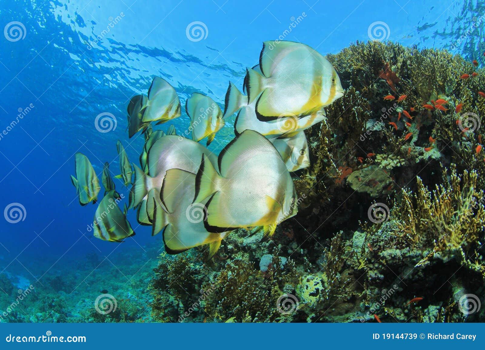 Skolaspadefish