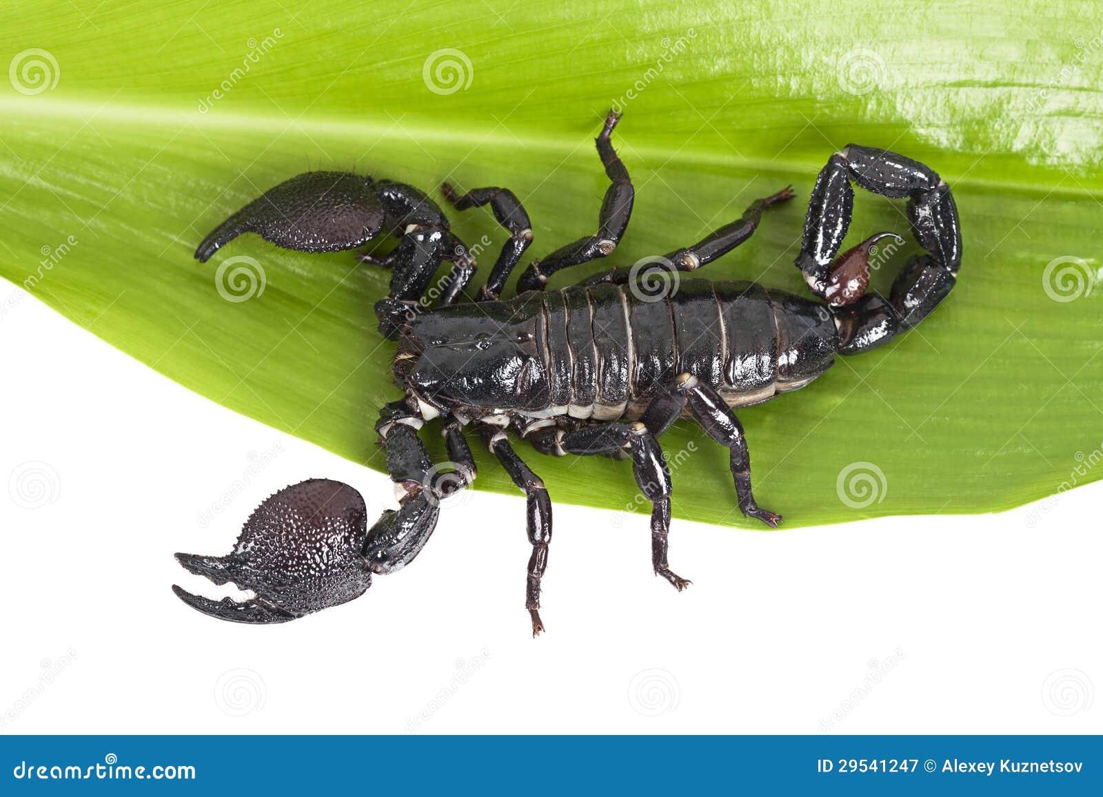 skorpion pandinus imperator auf einem gr nen blatt lizenzfreie stockfotografie bild 29541247. Black Bedroom Furniture Sets. Home Design Ideas