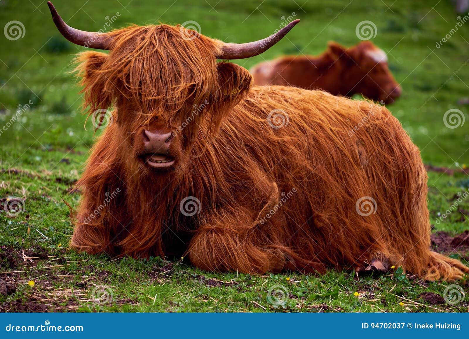 Kor Med Långt Hår