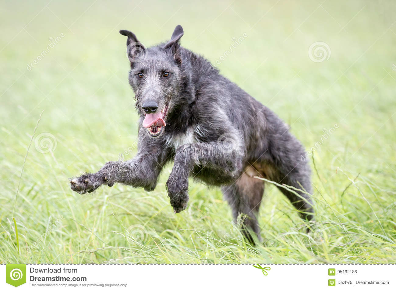 Skotska Deerhound