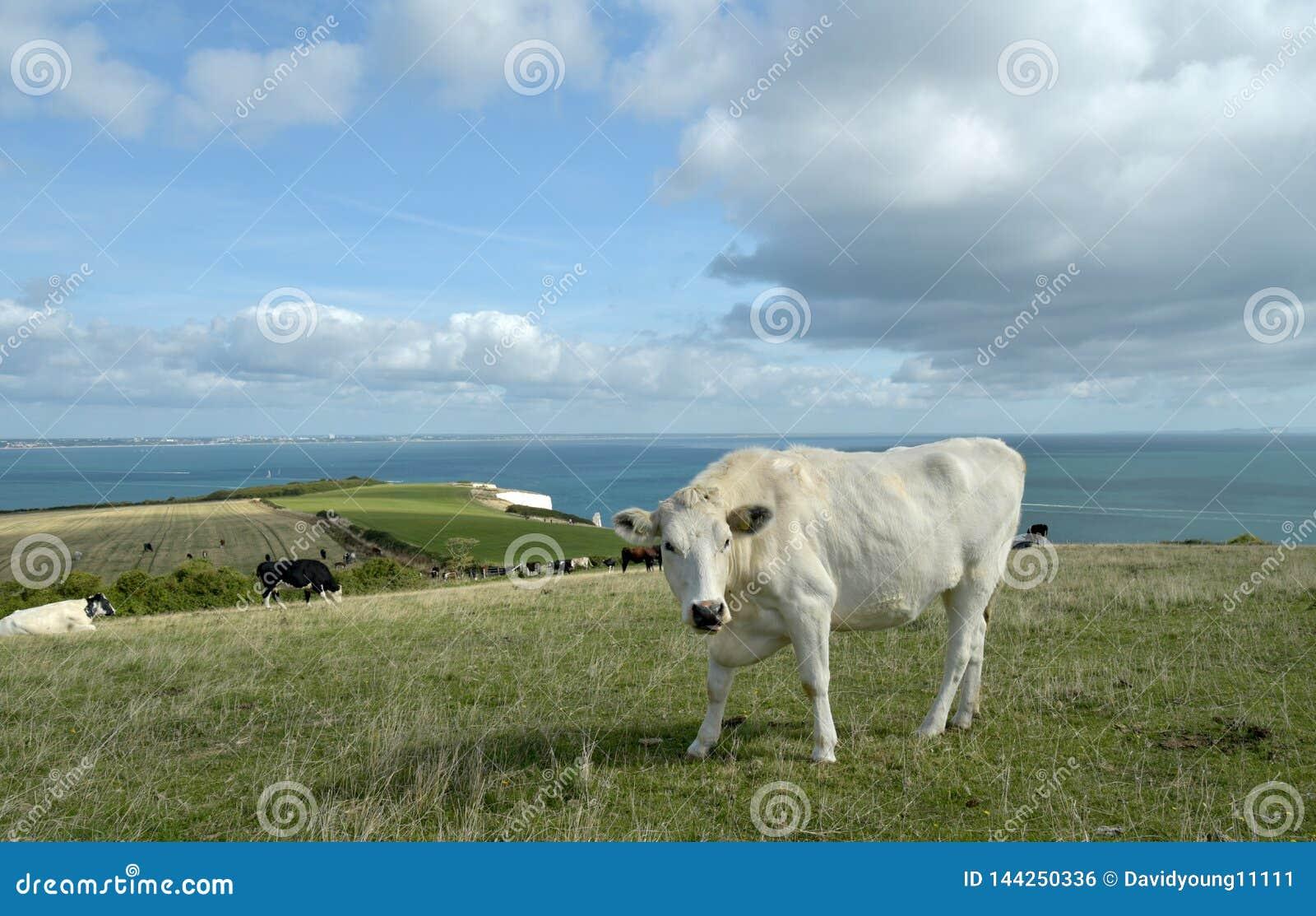 Skrämma att beta ovanför gamla Harry Rocks på den Dorset kusten