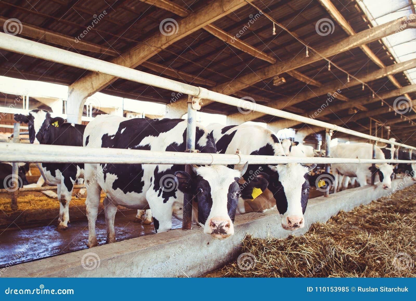 Skrämma lantgårdbegreppet av jordbruk, åkerbrukt och boskap - en flock av kor som använder hö i en ladugård på en mejerilantgård
