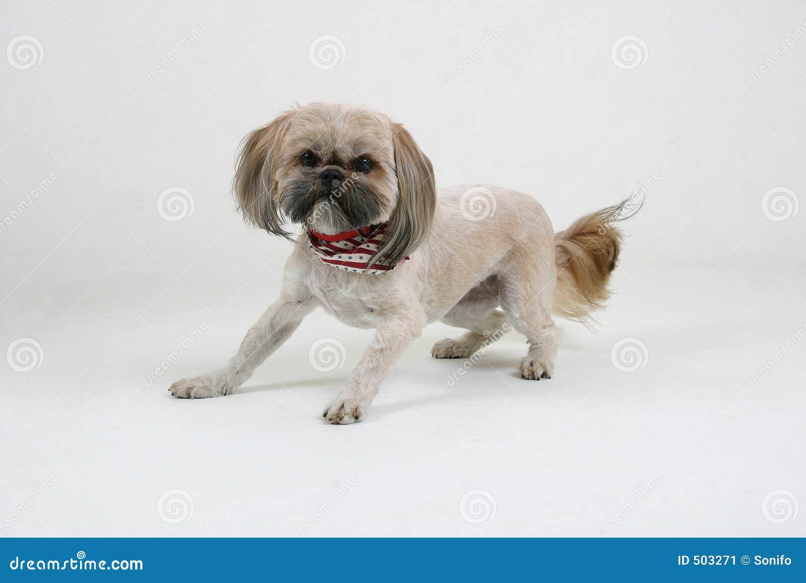 Skrämmd hund