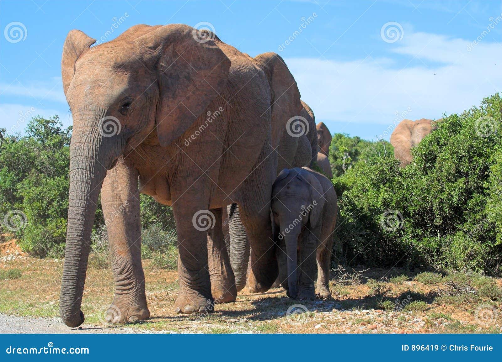 Skrzyżowanie słonia