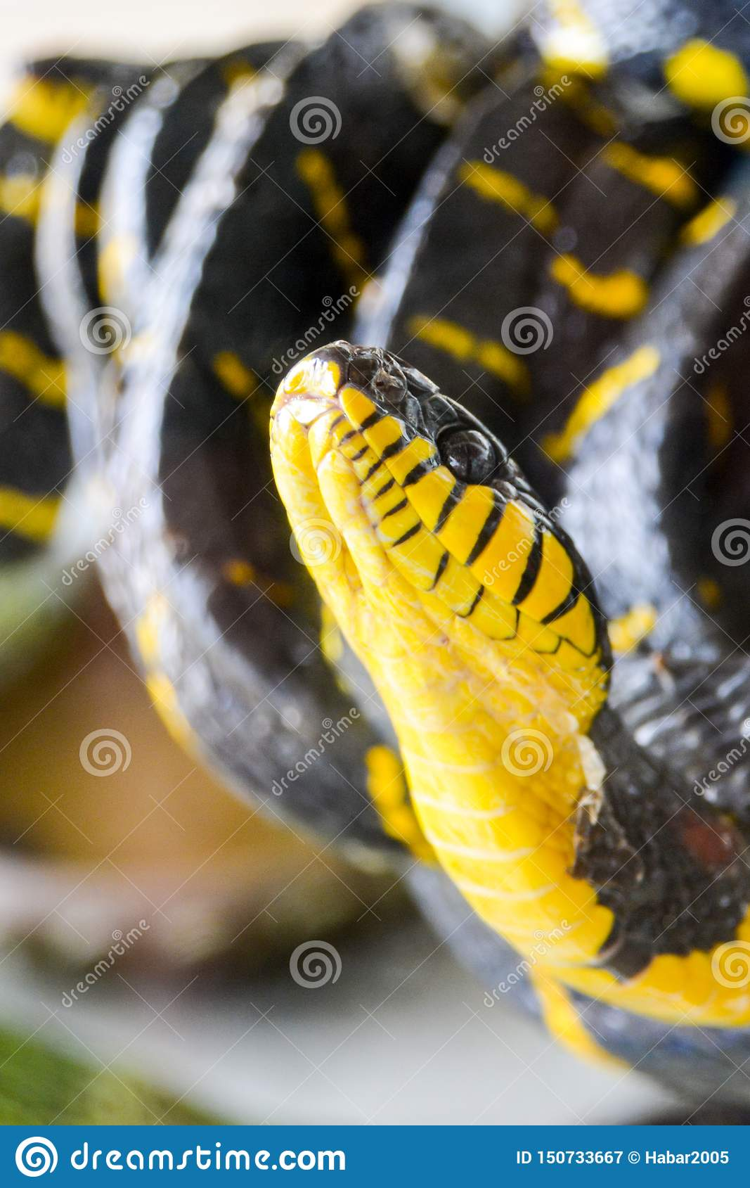 Skrzyknący namorzynowy węża Boiga dendrophila melanota