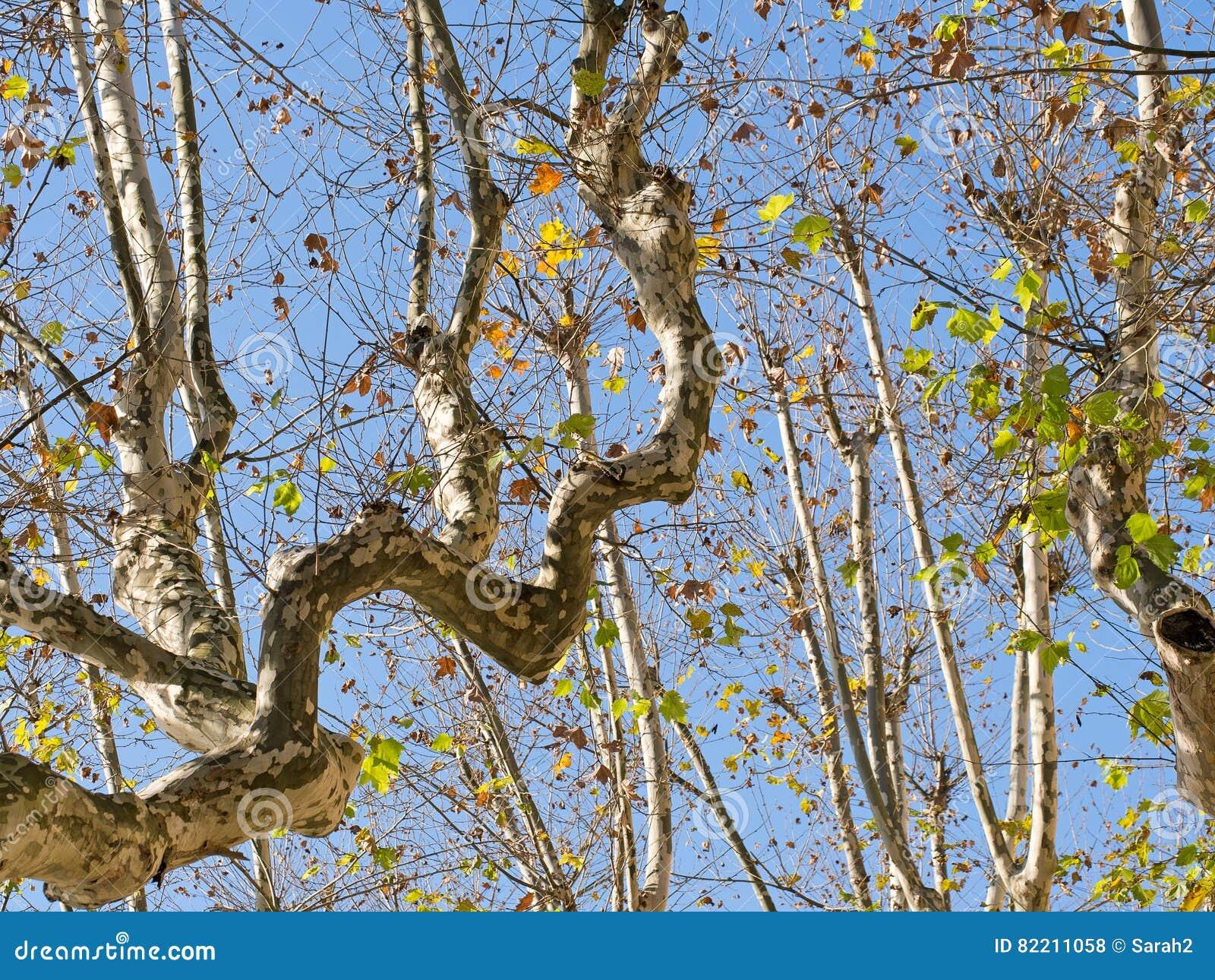 Skrzywione gałąź, płascy drzewa przeciw słońcu,