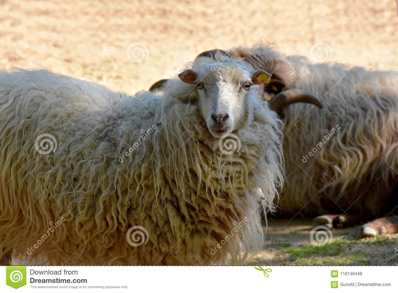 Skudde One Of The Oldest Domestic Sheep Breeds Stock Image