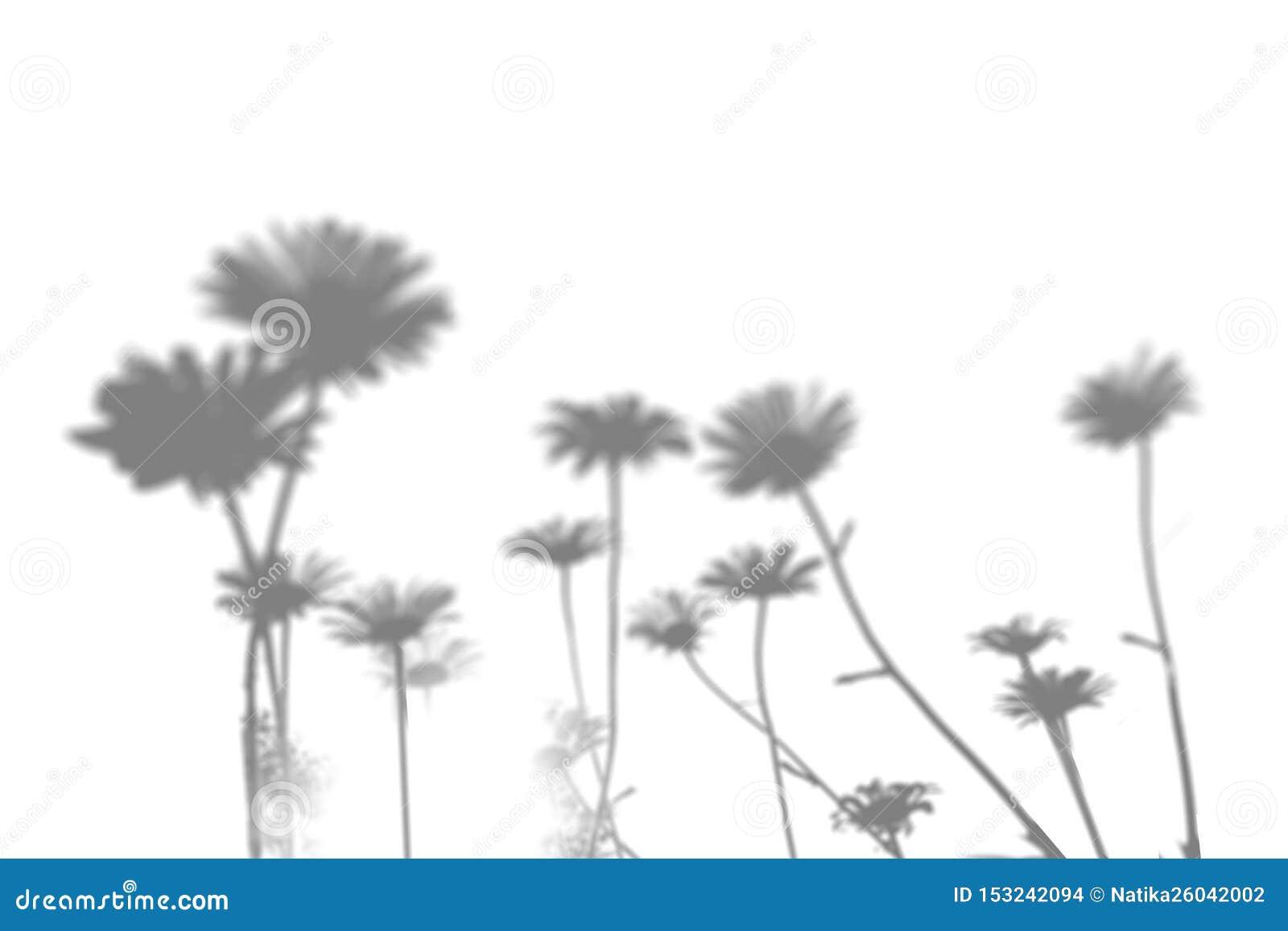 Skuggan av fältgräset på den vita väggen Svartvit bild för fotosamkopiering eller modell