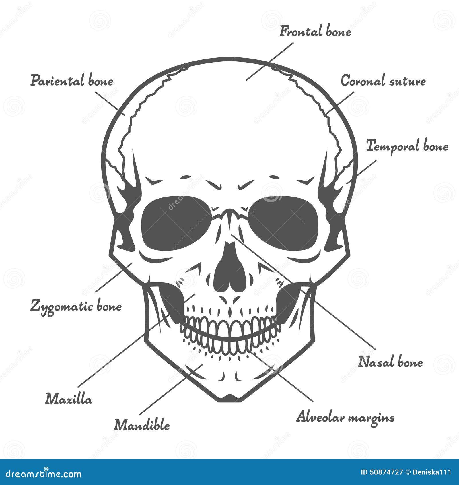 medical head diagram