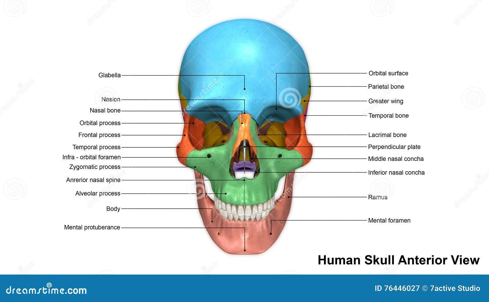 Skull Anterior View Stock Illustration Illustration Of Nasal 76446027
