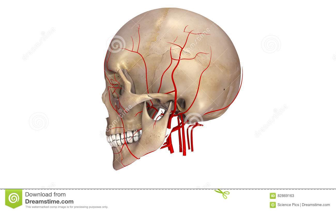Skull With Arteries Lateral View Stock Illustration Illustration