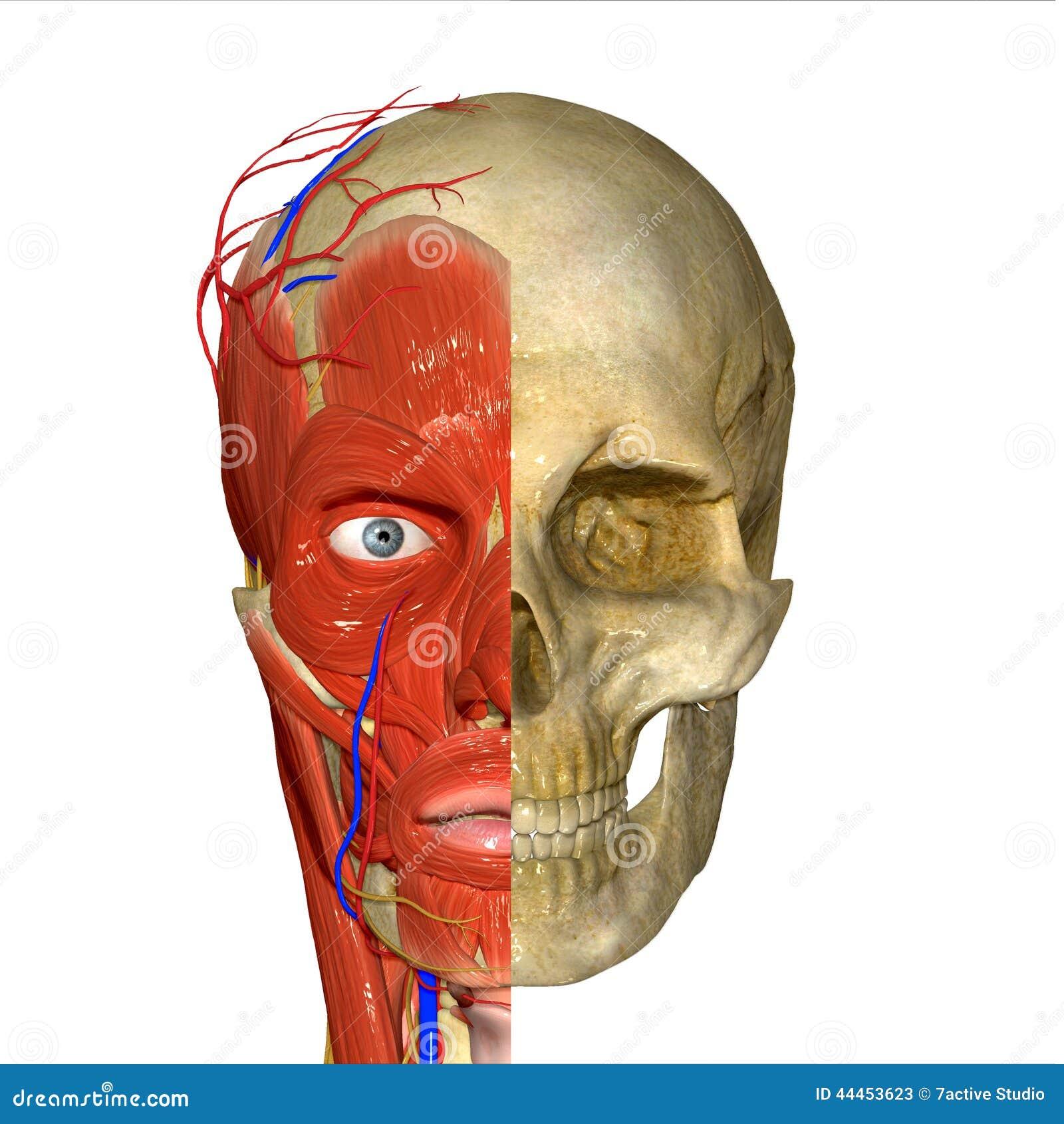 Skull stock illustration. Illustration of lips, female - 44453623