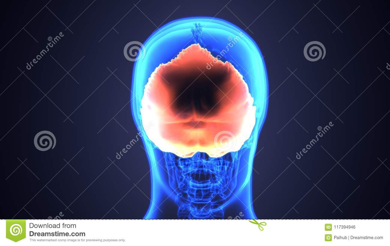 3d Illustration Of Human Skeleton Skull Anatomy Stock Illustration