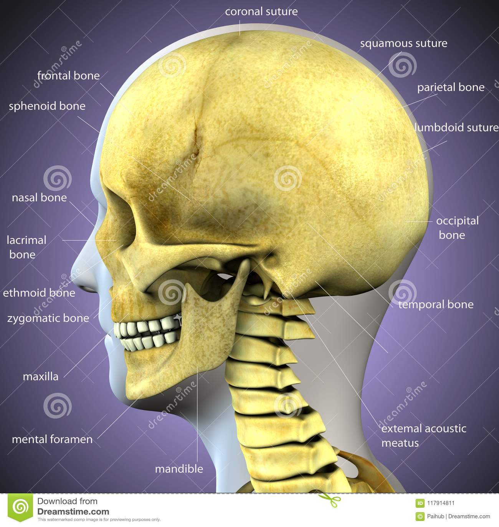 3d Illustration Of Skeleton Skull Anatomy Stock Illustration