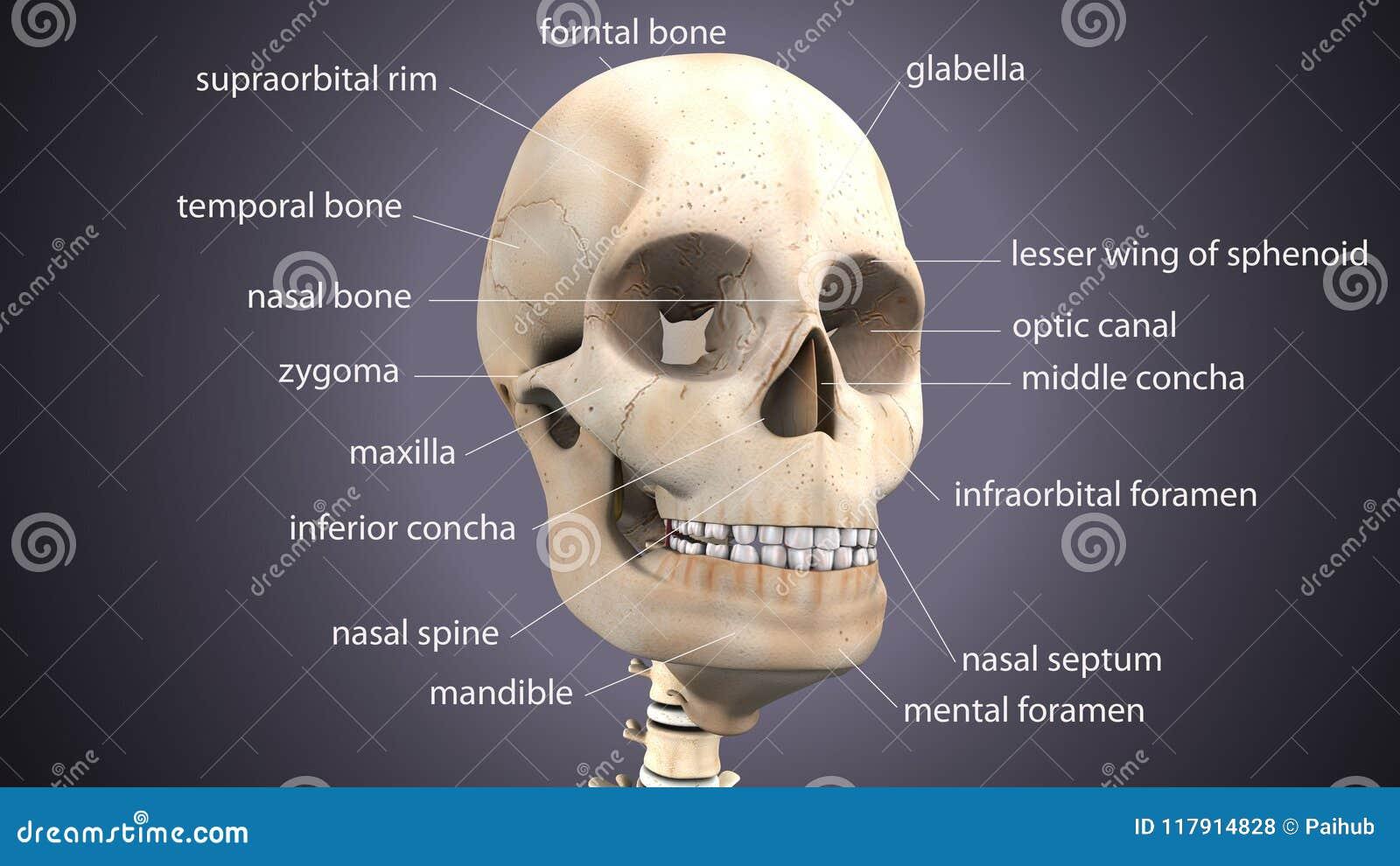 3d Illustration Of Skeleton Skull Anatomy Stock Illustration ...