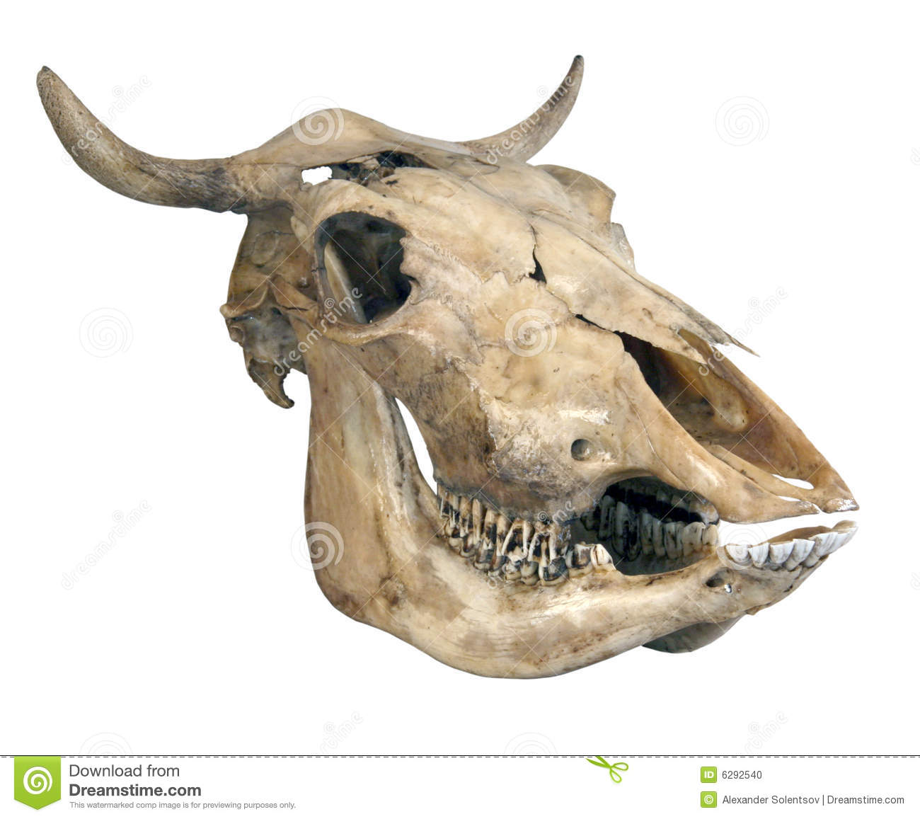 Download Skull of a cow stock photo. Image of head, horns, mammal ...