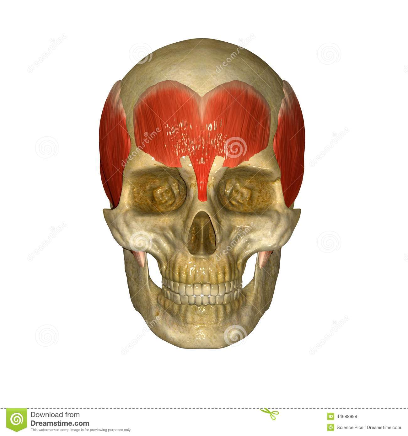 Skull With Frontalis Muscles Forehead Stock Illustration